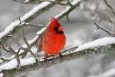 9860764-male-northern-cardinal-cardinalis-cardinalis-on-a-branch-covered-with-snow
